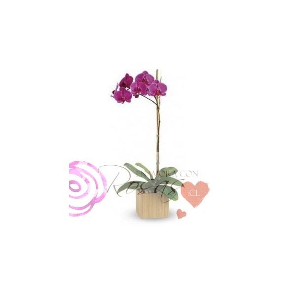 Elegante orquideas en planta for Plantas a domicilio santiago